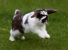 Kaiser (Bucky O'Hare) Tags: pet baby pets cute rabbit bunny bunnies animal furry ears rabbits binky