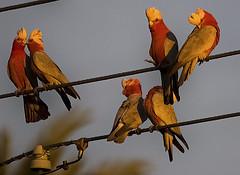 cocky luvvv (Fat Burns ☮) Tags: bird birds wildlife parrot galah australianbirds australianwildlife australianparrot freedomtosoarlevel1birdphotosonly freedomtosoarlevel2birdphotosonly freedomtosoarlevel3birdphotosonly