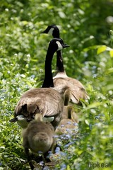 Happy Trails (flipkeat) Tags: family portrait baby ontario canada nature geese duck babies wildlife group birding ducks goslings waterfowl mississauga birdwatching avian babyduck bernacheducanada gansocanadiense dlsra500