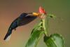 Violet Saberwing Hummingbird, Campylopterus hemileucurus (mikebaird) Tags: bird costarica hummingbird campylopterushemileucurus mikebaird bosquedepaz 08may2012 violetsaberwinghummingbird 08may2012costarica