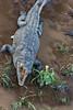 American crocodile, Crocodylus acutus  in Costa Rica (mikebaird) Tags: costarica getty gettyimages americancrocodile crocodylusacutus mikebaird 07may2012