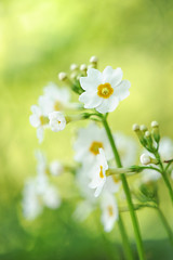 Awakenings (affinity579) Tags: flowers white nature yellow garden golden spring nikon alba dreamy primula 105mm coth japaneseprimrose d700 persephonesgarden
