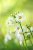 Awakenings (affinity579) Tags: flowers white nature yellow garden golden spring nikon alba dreamy primula 105mm coth japaneseprimrose d700 persephonesgarden