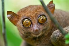 Big Eyes (palnick) Tags: portrait big eyes philippines bohol tarsier naturesfinest filippine highqualityanimals