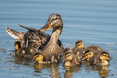 Proud Momma Duck and her 7 ducklings (Eric Dugan) Tags: ca explore walnutcreek frontpage babyducks heatherfarmspark