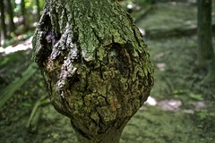 Grinch Tree (Kitty Now) Tags: tree nature landscape outdoors photography fuji creepy grinch bark peoria bulge