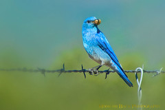 It's A Nasty Job ... but, someone has to do it! (Aspenbreeze) Tags: bird birds animal colorado wildlife bluebird mountainbluebird wildbird thegalaxy natureselegantshots aspenbreeze malemountainbluebird nestbluebirdbox