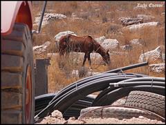 Horse Power (Zachi Evenor) Tags: horse brown animal animals israel hp power equipment heavy  quarry grazing stallion  horsepower  zoology        bareket   zachievenor