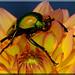 Eudicella Colmanti auf Blüte (6)