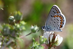 2012_06_04_5939 (Doug's Graphics) Tags: blue butterfly melissa lepidoptera plebejus polyommatini