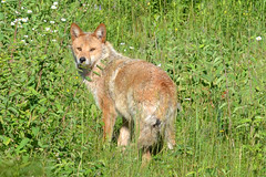 Wile E. Coyote (NatureFreak07) Tags: coyote summer canine wileecoyote kingstonon naturefreak07 hnainphotography