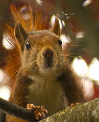 Ardilla - Squirrel