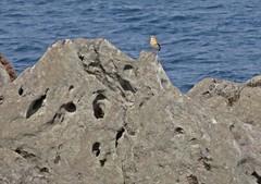 What's This 'Ear? (Bricheno) Tags: bird island scotland clyde escocia arran isleofarran szkocja schottland wheatear scozia lochranza cosse  esccia   bricheno scoia