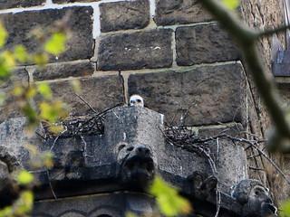 Cathedral Hawk Nestling - 8326