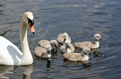 Proud Protector! (RiverCrouchWalker) Tags: family lake london water spring swan may ripples cygnets stjamesspark cygnusolor 2016 proudprotector