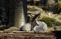 2016-04-24 17.14.28-2.jpg (michaelbbateman) Tags: wildlife squirel