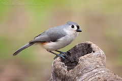 Tufted Titmouse (Shadows in Reflection) Tags: bird michigan titmouse tufted nativemichigander donsblind jackskncounty