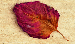 otoo a color (ojoadicto) Tags: hoja leaf red purple otoo autum artisticphotography