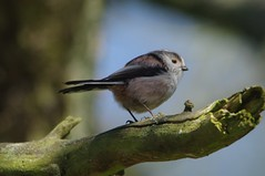 IMGP9384 Long-Tailed Tit, The Lodge, Sandy, April 2016 (bobchappell55) Tags: wild bird nature tit wildlife sandy reserve thelodge rspb longtailed