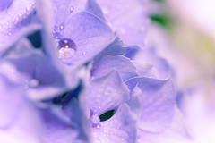 hydrangea  (hiroshi_arai) Tags: flowers plant flower macro canon purple hydrangea   macrolens  60d