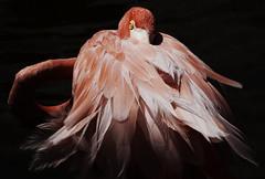 Ninja (Gdemiceu) Tags: pink light red naturaleza nature argentina birds animal animals fauna contrast wow wildlife flamingo ngc feathers aves planet contraste animales flamenco plumas larioja 100faves vidasalvaje lagunabrava canon7d