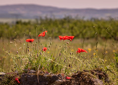 Au soleil (S@ndrine42) Tags: nature rouge poppies coquelicots nelsandrine