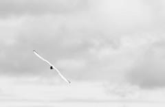 Black-headed gull (Larsenio) Tags: heron norway landscape norge pentax hawk north norwegen norwegian owl nordic northern owls fa midnightsun norvege hawkowl norsk ugle ffa nordland andy hegre shorteared northernnorway nordnorsk fa300 haukugle jordugle pentaxk5