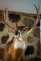 Bowtie (jmishefske) Tags: park nature wisconsin franklin nikon wildlife may bowtie center deer rack milwaukee buck whitetail wehr antler 2016 whitnall d800e
