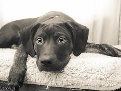 Wimpy Resting (JLBondia) Tags: dog pet puppy blackdog mixedbreed wimpy petportrait