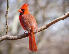 The Regal Red Northern Cardinal (Cathy Lorraine) Tags: newyorkcity newyork centralpark ngc npc songbirds redbird northerncardinal northamerican commoncardinal