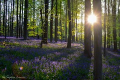 Hallerbos (Sphielo) Tags: nature forest belgium bluebell hyacinth
