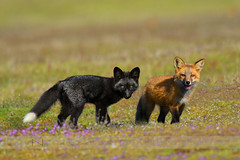 Red Fox Kits (one black/silver phase ) (Normsnature) Tags: nature nikon bc kits redfox nikond500 normanngphotography nikond800e