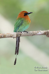Broad-billed Motmot (Brian Lasenby) Tags: nature tree color gamboa branch centralamerica body perch plumage green orange electronplatyrhynchum animal behaviour motmot plant colorful wildlife feathers broadbilledmotmot forest bird trees panama gamboarainforest rainforest environment places gray
