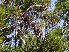 Kakas (dracophylla) Tags: newzealand kaka nestormeridionalis codfishisland whenauhoa