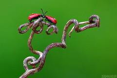 Acquaintance (Vie Lipowski) Tags: macro nature bug insect wildlife beetle tendril liliocerislilii redlilybeetle scarletlilybeetle leaflilybeetle