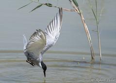 Charrn comn (robertopastor) Tags: espaa fuji aves alicante animales charrncomn elhondo robertopastor fujixt1 xf100400