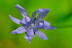 boken flower (ecordaphoto) Tags: flower macro verde green nature blu natura fiore boken dx sfuocato d5100