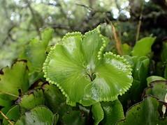 Kidney fern - Hymenophyllum nephrophyllum (dracophylla) Tags: newzealand hymenophyllaceae codfishisland kidneyfern hymenophyllumnephrophyllum whenauhoa