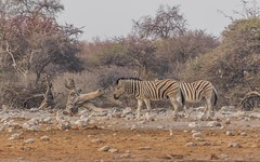 PGC_3229-20150922 (C&P_Pics) Tags: na waterhole namibia burchellszebra etoshanationalpark oshikoto namutonicamp