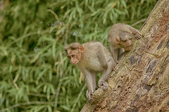 This ot That (Sathish_Photography) Tags: green nature animal monkeys tamilnadu candidshots greenary nikon5100 valpaarai sathishphotography nikon55300mmlens colourfullphotos sathishkumarphotography nikontelelens valpaaraihillstation