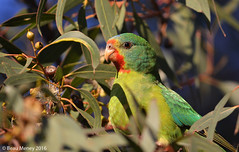 Swift Parrot (Immature) - Critically Endangered (beau_meney) Tags: feeding australia melbourne victoria migratory immature threatened criticallyendangered swiftparrot lathamusdiscolor yellowgum swiftie