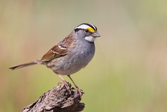 White-throated  Sparrow (mandokid1) Tags: birds canon sparrows canon500f4 idmk1v