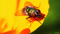 fly (gshaun12) Tags: flower macro green animals yellow closeup fly bokeh wildlife insects fantasticnature macrodreams