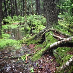 Tree Upon Fallen Tree (rcvernors) Tags: west forest virginia moss highlands woods flooding wv lush mossy pocahontas decayingtree iphone6