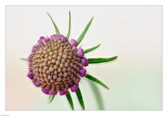 Meine Wildblumenwiese (Volker Bandke) Tags: 15bilder geisblattgewächse kardenartige kardengewächse makro scabiosacolumbaris skabiosen stacking taubenskabiose lichtografien