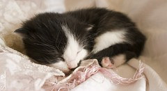 20100813_01018b (Fantasyfan.) Tags: pink sleeping pet cute animal topv111 furry topv333 kitten fluffy tired fantasyfanin kuolema highqualityanimals siirretty