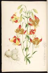 Anglų lietuvių žodynas. Žodis lilium pardalinum reiškia <li>lilium pardalinum</li> lietuviškai.
