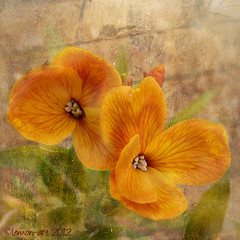 Wallflowers (Lemon~art) Tags: orange flower nature wall garden spring 2012 wallflower