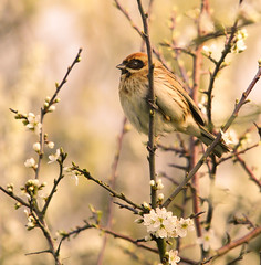 Evening Sun (Female Reed Bunting) (Alistair Prentice.) Tags: irish reed female river canal pentax wildlife bann sigma 150 500 bunting kx portadown newry