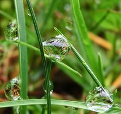 Tautropfen / dew drops (momax12) Tags: macro reflection nature drops natur drop dew raindrops waterdrops makro spiegelung tropfen tautropfen regentropfen